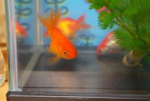 金魚の世界もいろいろあるみたいです
