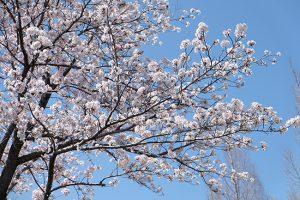 【花見in平成中央公園】熊本の人気のお花見スポット3選