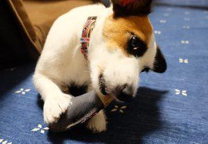 ペットと一緒の年末帰省や旅行のお供にもおすすめ!犬用おもちゃブーメラン&ボーンセ...