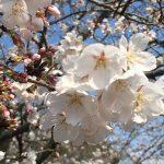【桜スポット】お花見散歩におすすめ!歩いて楽しめる...